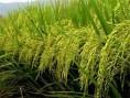 champ-de-riz
